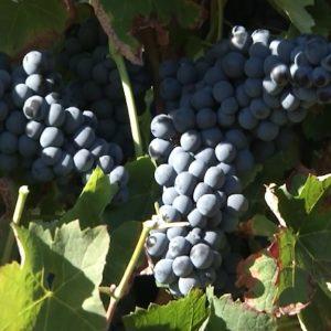 1.Kako da probate vino.00_07_40_11.Still098